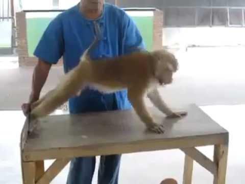 Video: Net beždžionė sportuoja daugiau - Už daugumą šiuolaikiško jaunimo.