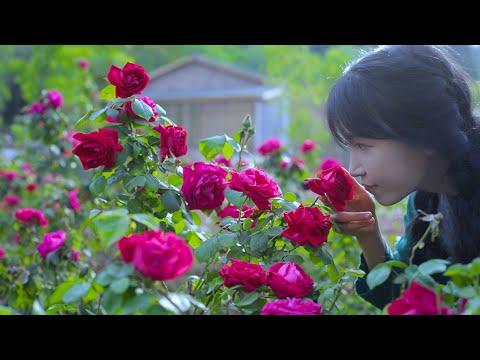 The-life-of-roses.玫瑰花的一生。丨Lizi