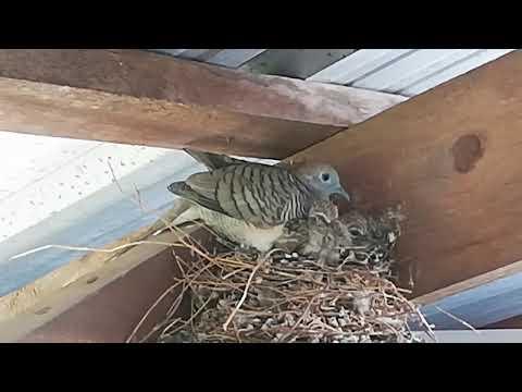 นกเขาชวา-สร้างรังบนเสาบ้านนาน