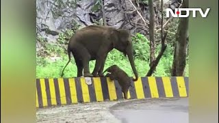 Elephant Seen Helping Calf Cross Roadside Barrier In Heartwarming Video - NDTV