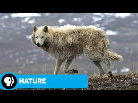 NATURE | Arctic Wolf Pack: Official Trailer | PBS