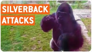 Silverback Gorilla Attacks Family at Zoo || Full Version Of Encounter