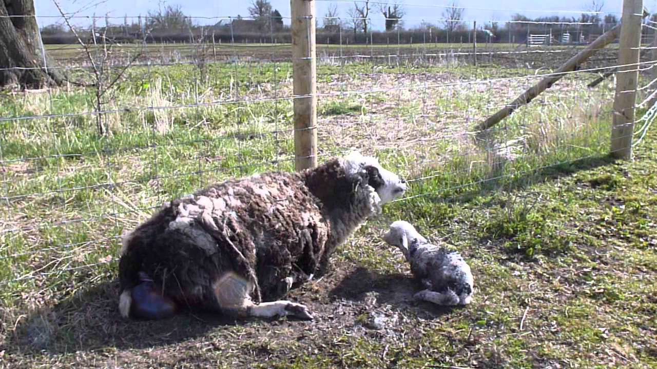 Shetland Sheep Milkyway giving birth to twins