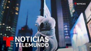 Koalas de peluche adornan la ciudad de Nueva York   Noticias Telemundo