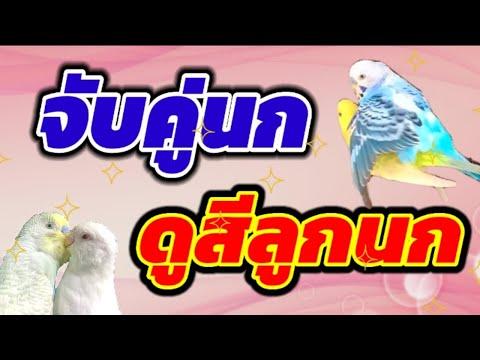 #จับคู่นกหงส์หยก-#ดูสีลูกนกหงส