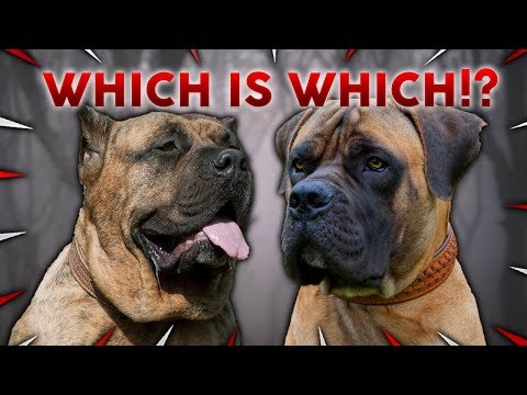 BOERBOEL or PRESA CANARIO! What's The Difference!!