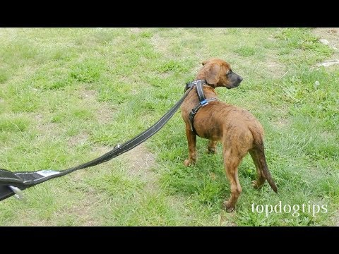 How To Leash Train A Puppy