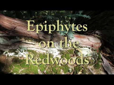 Epiphytes on the Redwoods