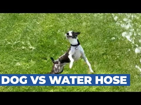 Dog Jumps in The Air Trying to Catch Stream of Water