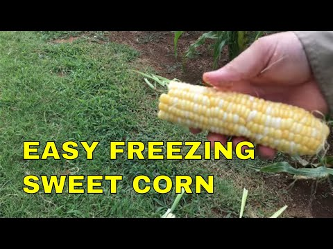 FREEZING CORN ON THE COB THE EASY WAY~And Harvesting