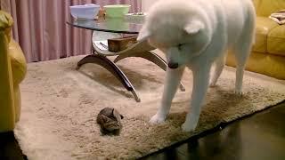子猫 600グラム『600gの子猫と、30kgの秋田犬・天天 japanese akita dog』などなど