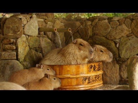 Kapibary w kąpieli