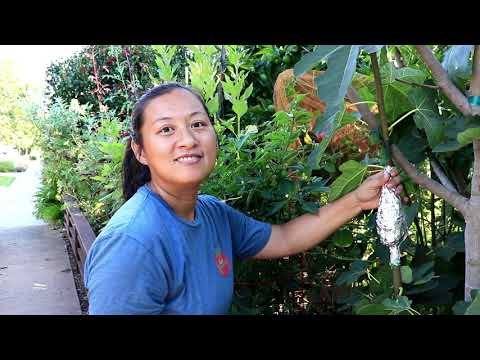How to AIR LAYER Fig Trees | Propagation Method | Garden Vlog