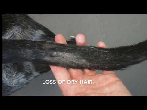 Tail Gland in  Dogs and Cats