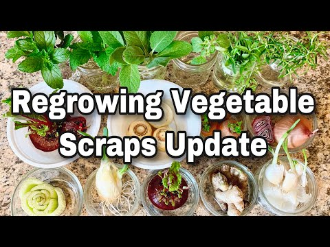 10 Vegetables & Herbs You Can Regrow For SEEDS & More Greens! One Month Update!