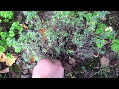 Comment tailler une sauge download youtube mp3 for Conseil jardinage