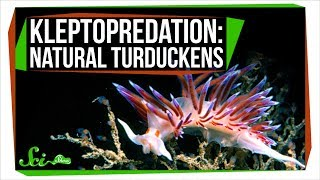 Kleptopredation: Natural Turduckens