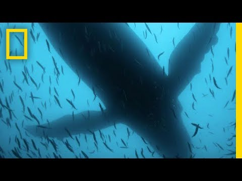 Sea of Shadows Official Trailer | National Geographic