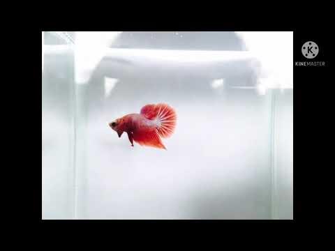 Yindee-fighting-fish-#EP-1/13