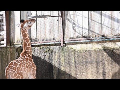 Un zoo francés da la bienvenida a su primer bebé jirafa