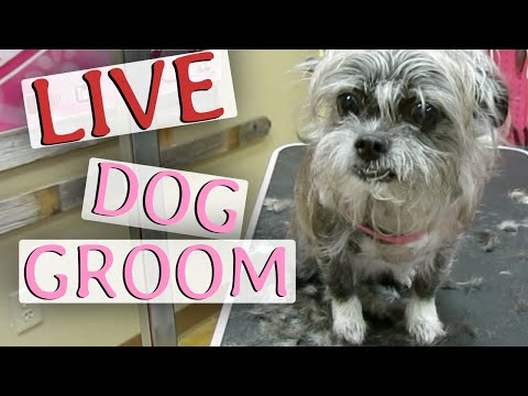 Miniature Poodle Grooming - How to do a pom pom tail
