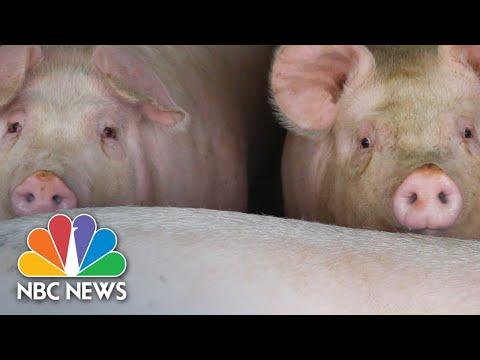 Hog Farmers Face A Crisis: Too Many Pigs, Nowhere To Go | NBC News