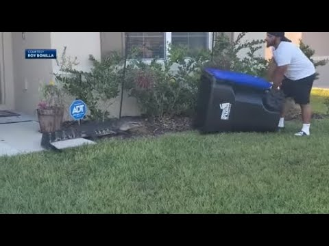 Florida man catches alligator in trash can in viral video   ABC7
