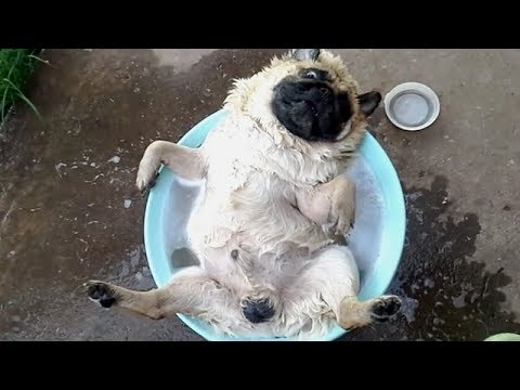 connectYoutube - FORGET CATS! Funny PUGS are here to MAKE YOU LAUGH! - Funny DOG compilation