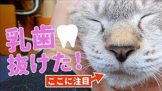 子猫 歯『乳歯が抜けた!新しい歯でドライフードを食べる子猫』などなど