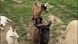 Viral Video: छोटी भेड़ों ने एक दूसरे के ऊपर चढ़कर ऐसे की मस्ती - NDTVINDIA