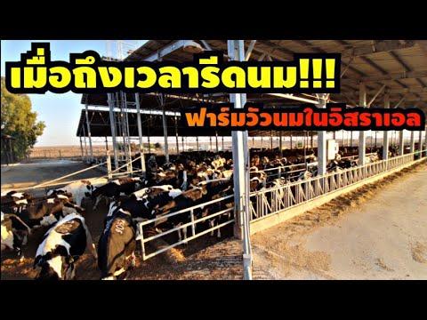 การทำงานฟาร์มวัวในประเทศอิสราเ