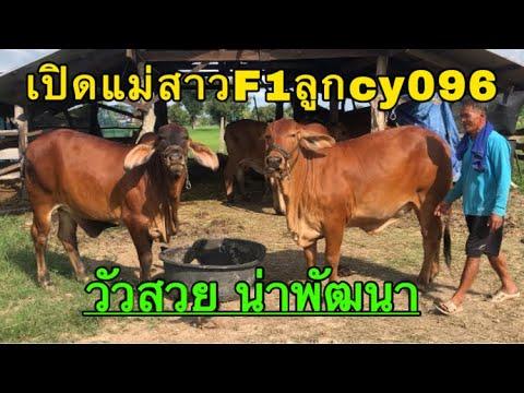 เปิดแม่สาวF1ลูกcy096-วัวสวยน่า