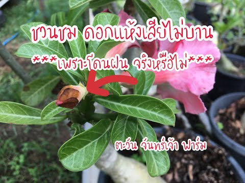 ชวนชมดอกแห้งไม่บาน