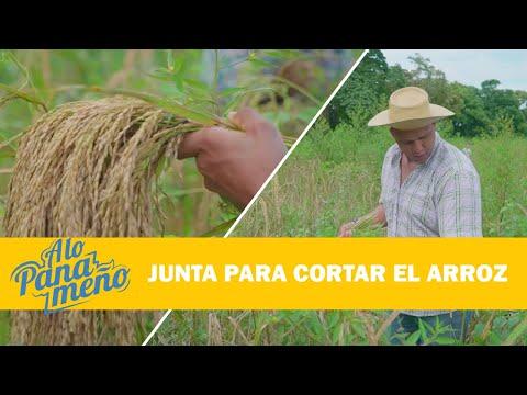 A LO PANAMEÑO | JUNTA PARA CORTAR ARROZ
