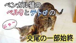 子猫 発情期『ベンガル猫のベルとテトが再び交尾をしました。』などなど