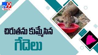 చిరుతను కుమ్మేసిన గేదెలు - TV9 - TV9