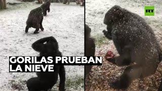 Gorilas 'degustan' la nieve en el zoo de Londres