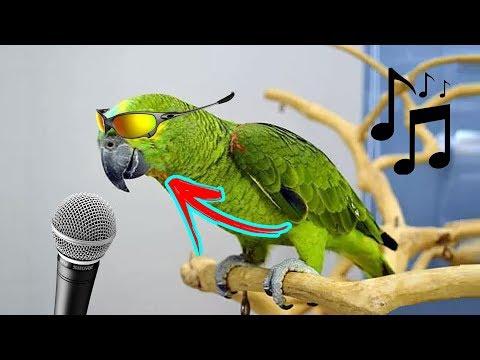 connectYoutube - Os Papagaios Mais Engraçados Tente Não Rir