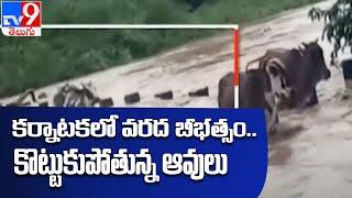 వాగులో కొట్టుకుపోతున్న పశువులు    Karnataka floods - TV9 - TV9