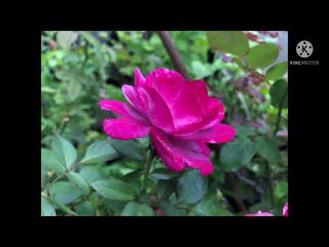Flower-in-Thailand-Ep#11/4