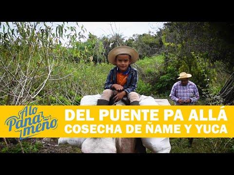 A LO PANAMEÑO  DEL PUENTE PA' ALLÁ COSECHA DE ÑAME Y YUCA