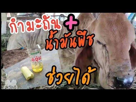 วัวมีแผลเพราะโรคลัมปิสกิน--รัก