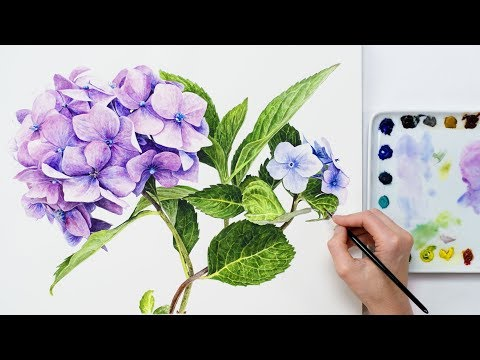 How to paint realistic Hydrangea flowers in watercolour with Anna Mason