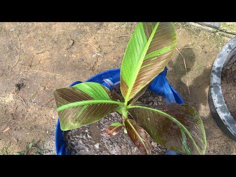 ดินปลูกกล้วยแดงอินโด-ผสมสูตรนี