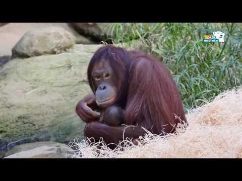 Zoo Rostock | Orang-Utan-Nachwuchs im Darwineum
