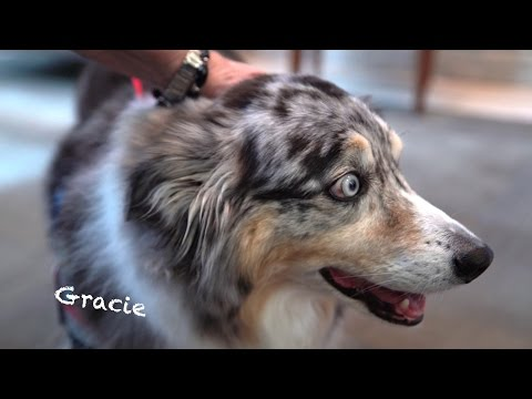 Gracie the Therapy Dog - Retirement