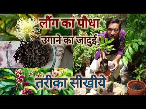 How to grow Clove Plant at home / लौंग का पौधा घर में लगाने का जादुई तरीका