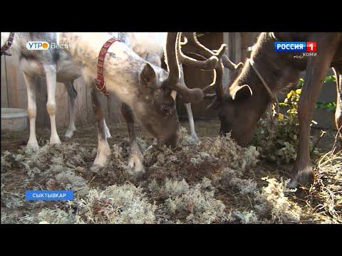 Сыктывкарцев просят помочь оленям подготовиться к зиме
