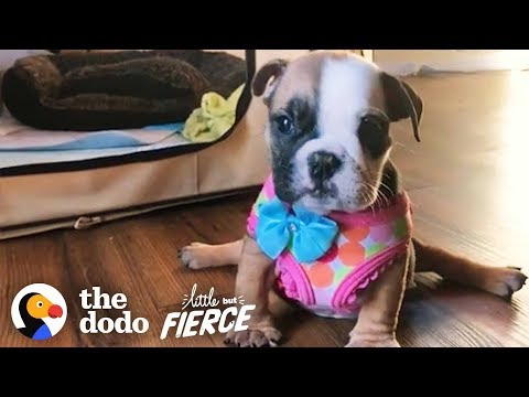 Sassy Baby Bulldog Wasn't Supposed To Walk — Look At Her Run! | The Dodo Little But Fierce