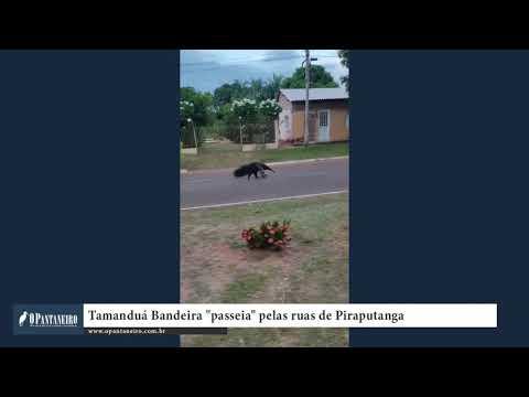 Tamanduá Bandeira passeia pelas ruas de Piraputanga